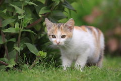 Kitten in garden. The tricolorec kitten in the garden Royalty Free Stock Images