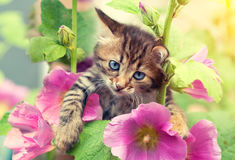 Kitten in the garden with mallow flowers. Portrait of little kitten in the garden with mallow flowers Royalty Free Stock Photography