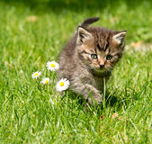 Kitten in the garden Royalty Free Stock Photo