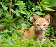 Kitten in the garden. A wild kitten watching and playing in the garden Royalty Free Stock Images
