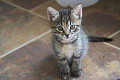 Kitten Gaze Fotografia Stock Libera da Diritti