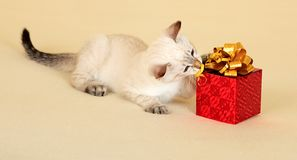 Kitten with gift. Stock Image