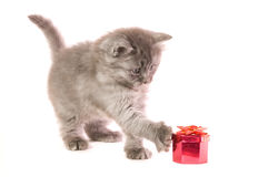 Kitten with gift. The small grey kitten concerns a red box with a gift on white background Stock Image