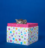 Kitten in a gift box Stock Images