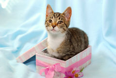 Kitten in gift box royalty free stock photo