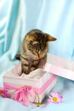 Kitten in gift box Stock Image