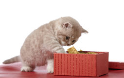 Kitten and gift box. Kitten and red gift box Royalty Free Stock Photos