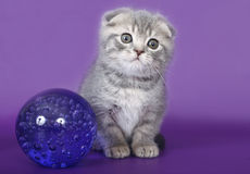 Kitten with a glass ball. Scottish fold kitten with a glass ball stock photos