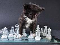 Kitten glass chess board with falled pieces Stock Photos
