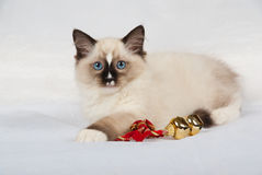 Kitten with gold christmas bells. Ragdoll kitten on white/silver background with gold bells and red ribbon stock image