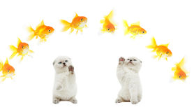 Kitten and golden fish Royalty Free Stock Images