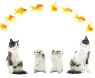 Kitten and golden fish Stock Images