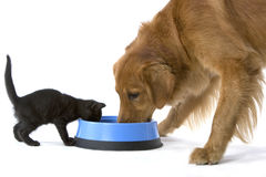 Kitten and Golden Retriever share food