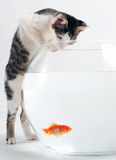 Kitten and goldfish Stock Image