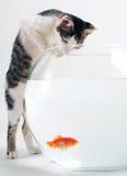 Kitten and goldfish. Curious kitten looking at goldfish in fishbowl stock image