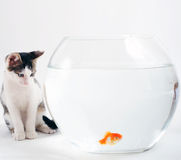Kitten and goldfish. Curious kitten looking at goldfish in fishbowl stock photography
