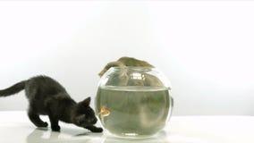 Kitten and goldfish stock footage