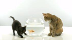 Kitten and goldfish stock video