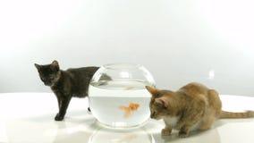 Kitten and goldfish stock video footage