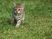 Kitten in the grass Royalty Free Stock Photo