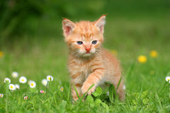 Kitten in the grass. Kitten looking for in a field Stock Photos