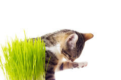 Kitten grass Stock Photo