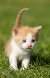 Kitten on the  grass Royalty Free Stock Photos
