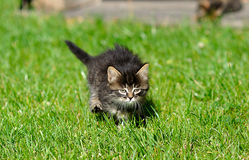 Kitten on the grass Stock Images