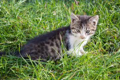 Kitten on the grass Royalty Free Stock Image