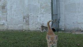 Kitten on the grass stock video
