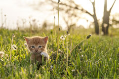 Kitten in the grass. Kitten walking in the grass stock image