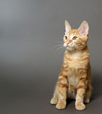 Kitten on a gray background Royalty Free Stock Photo