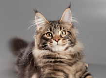 Kitten on a gray background. Royalty Free Stock Photo