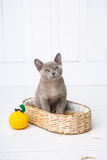 Kitten gray breed, the Burmese is sitting in a wicker basket. Next toy crocheted in the form of fruit. White background. Royalty Free Stock Images
