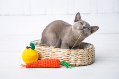 Kitten gray breed, the Burmese is sitting in a wicker basket. Next toy crocheted in the form of fruit. White background. Stock Photography