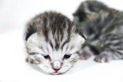 Kitten gray newborn sad little kid Royalty Free Stock Image