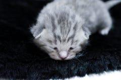 Kitten gray newborn sad little kid Stock Image
