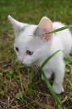 Kitten. Gray and white kitten in the grass Royalty Free Stock Images