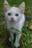 Kitten. Gray and white kitten on the grass background Royalty Free Stock Photos