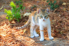 Kitten Greece Royalty Free Stock Images