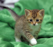 Kitten on a green background Royalty Free Stock Images