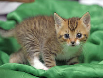 Kitten on a green background Stock Photography