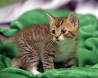 Kitten on a green background Royalty Free Stock Photos