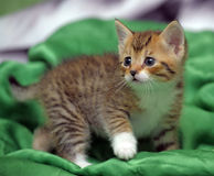 Kitten on a green background Stock Image