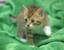 Kitten on a green background Royalty Free Stock Image