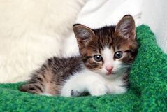 Kitten on green blanket Stock Photography