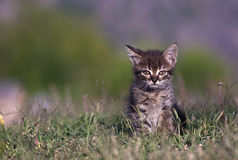 Kitten in the green grass. Cute semi wild kitten in the green grass Royalty Free Stock Images