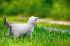 Kitten on a green grass Royalty Free Stock Photo