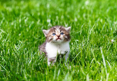 Kitten in the green grass. Little kitten in the green grass Royalty Free Stock Images