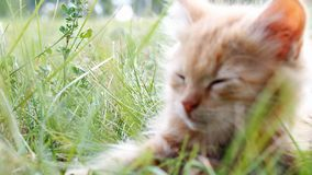 Kitten on green grass stock footage